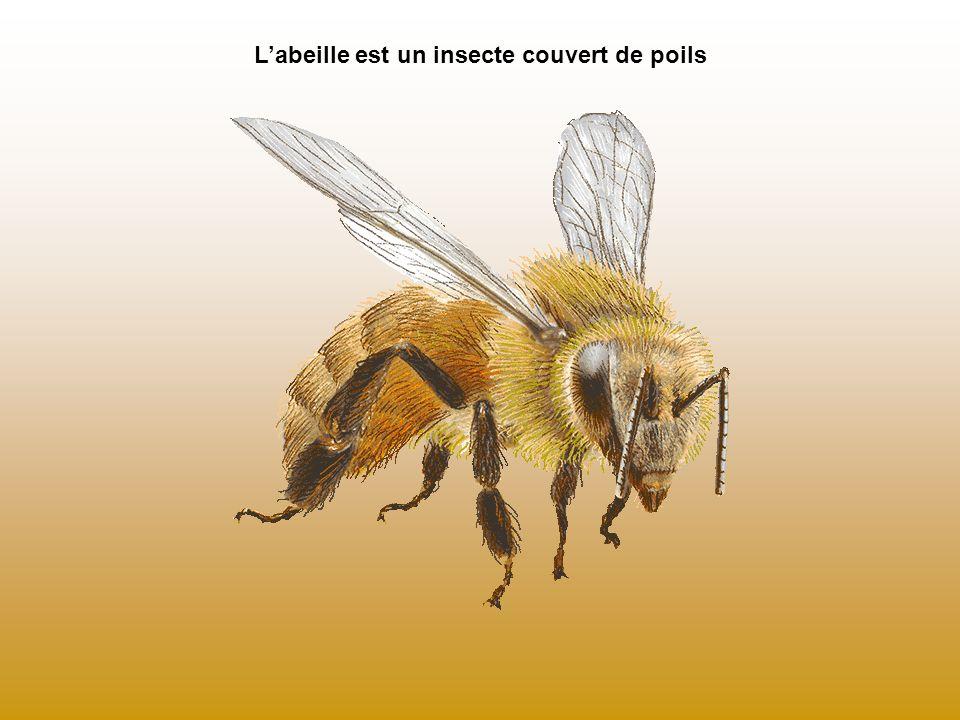 Labeille est un insecte couvert de poils