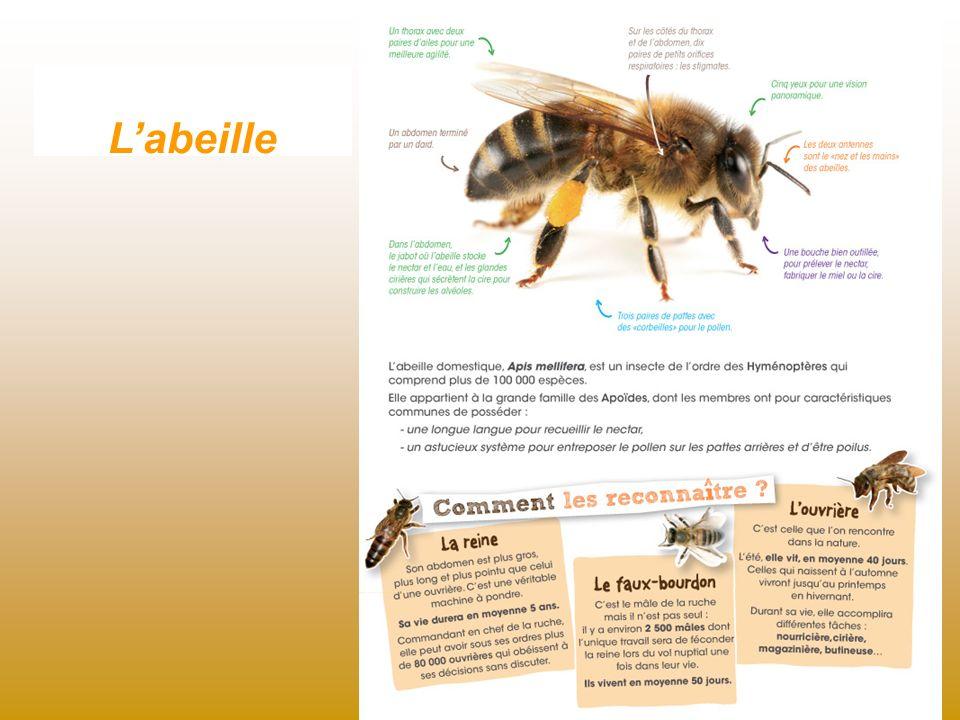Labeille se couvre du pollen en butinant.