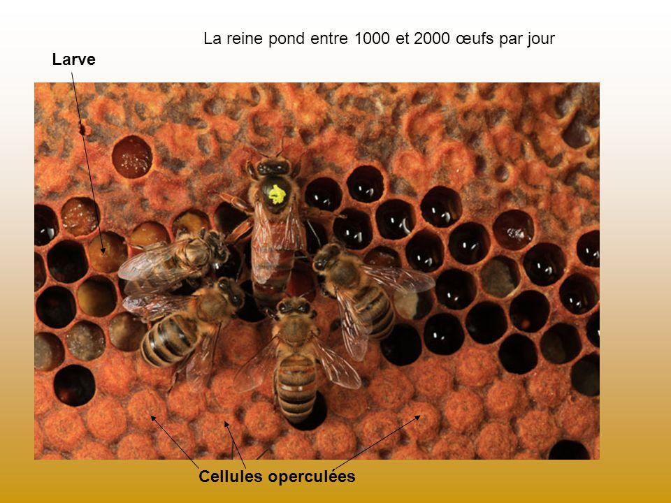 Sur un cadre : le couvain se trouve au centre le pollen est disposé autour du couvain Le miel est stocké dans les cellules du pourtour.