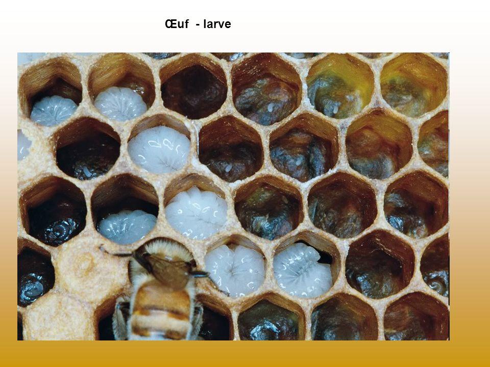 La danse des abeilles Extraire le dessin du livret pédagogique