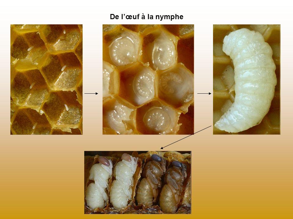 Lessaimage Essaim suspendu à une branche Lorsque la reine devient vieille, elle quitte la ruche, accompagnée par la moitié de la colonie.