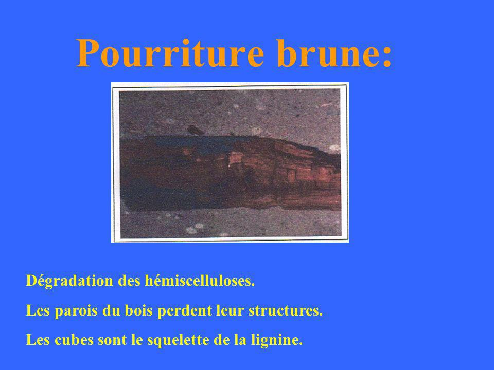 Pourriture blanche: Dégradation des 3 composants du bois:. Lignine. Hémiscelluloses. Cellulose