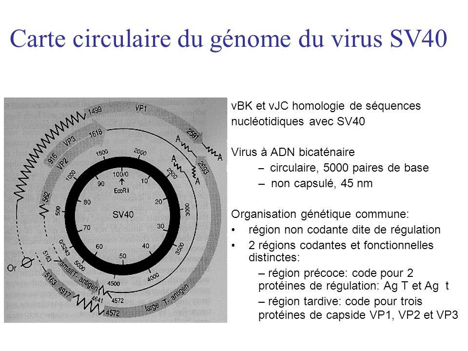 Carte circulaire du génome du virus SV40 vBK et vJC homologie de séquences nucléotidiques avec SV40 Virus à ADN bicaténaire – circulaire, 5000 paires de base – non capsulé, 45 nm Organisation génétique commune: région non codante dite de régulation 2 régions codantes et fonctionnelles distinctes: – région précoce: code pour 2 protéines de régulation: Ag T et Ag t – région tardive: code pour trois protéines de capside VP1, VP2 et VP3