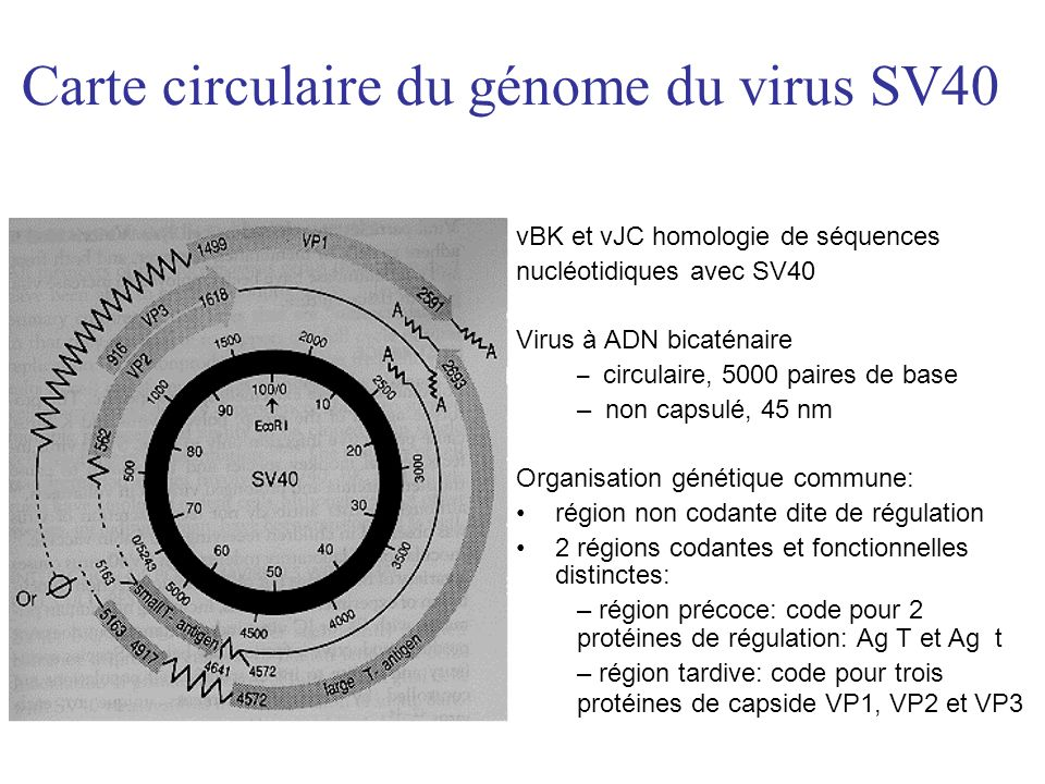 Observation M4M4 +15j M5M6M7M8 Créatininémie (µmol/l)271224211210219169 Prograf (mg)444444 C 0 tacro (ng/ml)4,53,23,43,73,33,8 MMF (mg)1000 0000 Prednisone (mg)10 Leflunomide (mg)40 virurie BK (copies/ml) virurie JC (copies/ml) >10 8 4,5x10 6 4x10 6 3x10 5 2x10 6 8x10 5 2x10 4 virémie BK (copies/ml) virémie JC (copies/ml) 17000 2000 44000 5700 10000 1500 1000 0 0000 0000