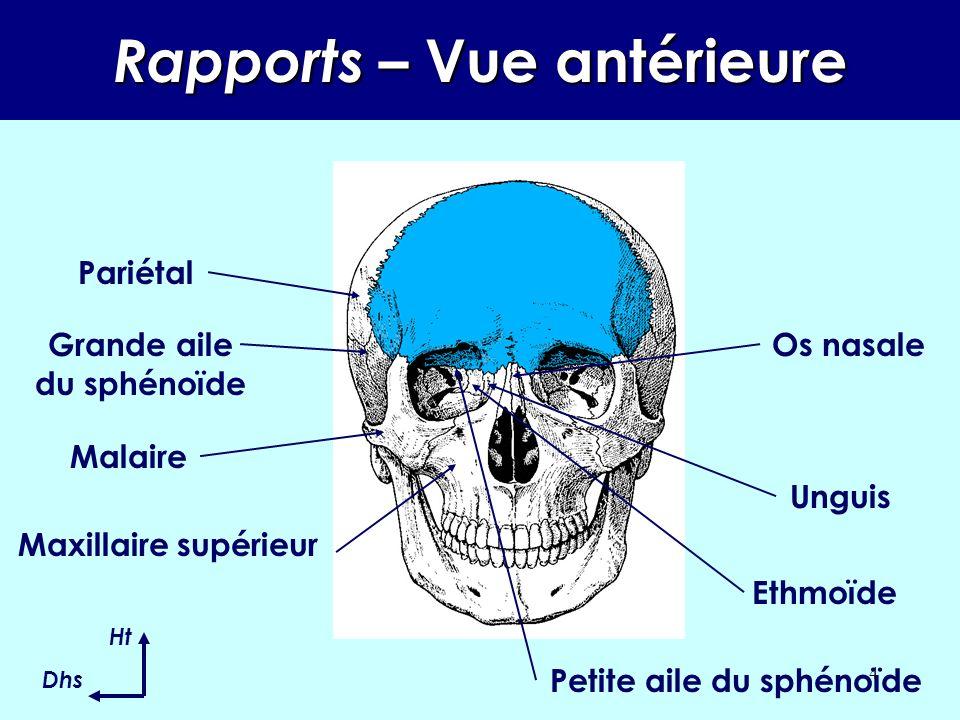 3 RAPPORTS OSSEUX Il chapeaute la face Au centre : l ethmoïde, Au centre en avant : les os nasales, En avant : les maxillaires supérieurs, Latéralement en avant : les malaires, Latéralement en arrière : les grandes ailes, En bas en arrière : les petites ailes, En avant, dans lorbite : les unguis, En arrière : les pariétaux.