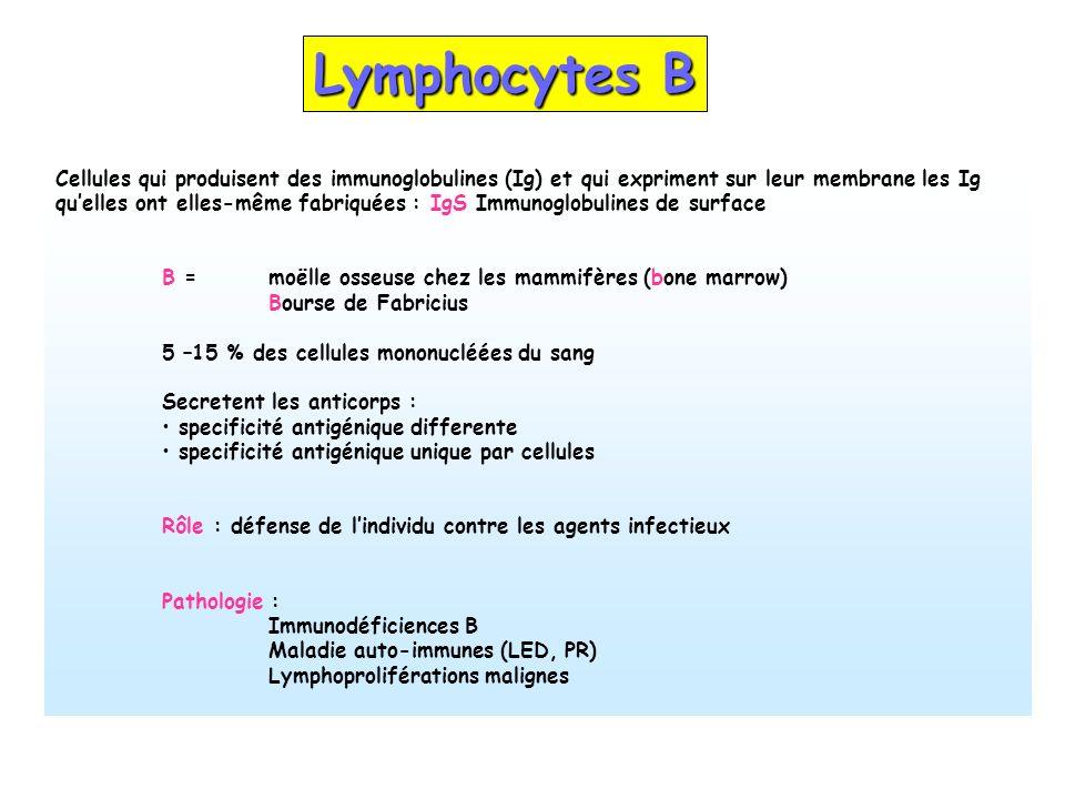 Lymphocytes B Cellules qui produisent des immunoglobulines (Ig) et qui expriment sur leur membrane les Ig quelles ont elles-même fabriquées : IgS Immu