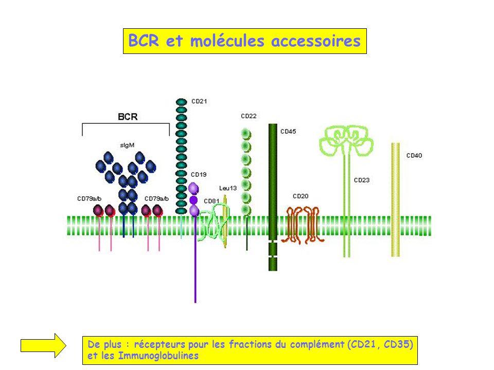 BCR et molécules accessoires De plus : récepteurs pour les fractions du complément (CD21, CD35) et les Immunoglobulines