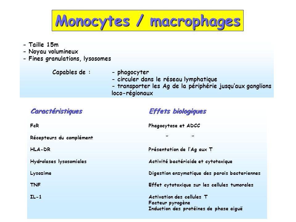 Monocytes / macrophages - Taille 15m - Noyau volumineux - Fines granulations, lysosomes Capables de : - phagocyter - circuler dans le réseau lymphatiq