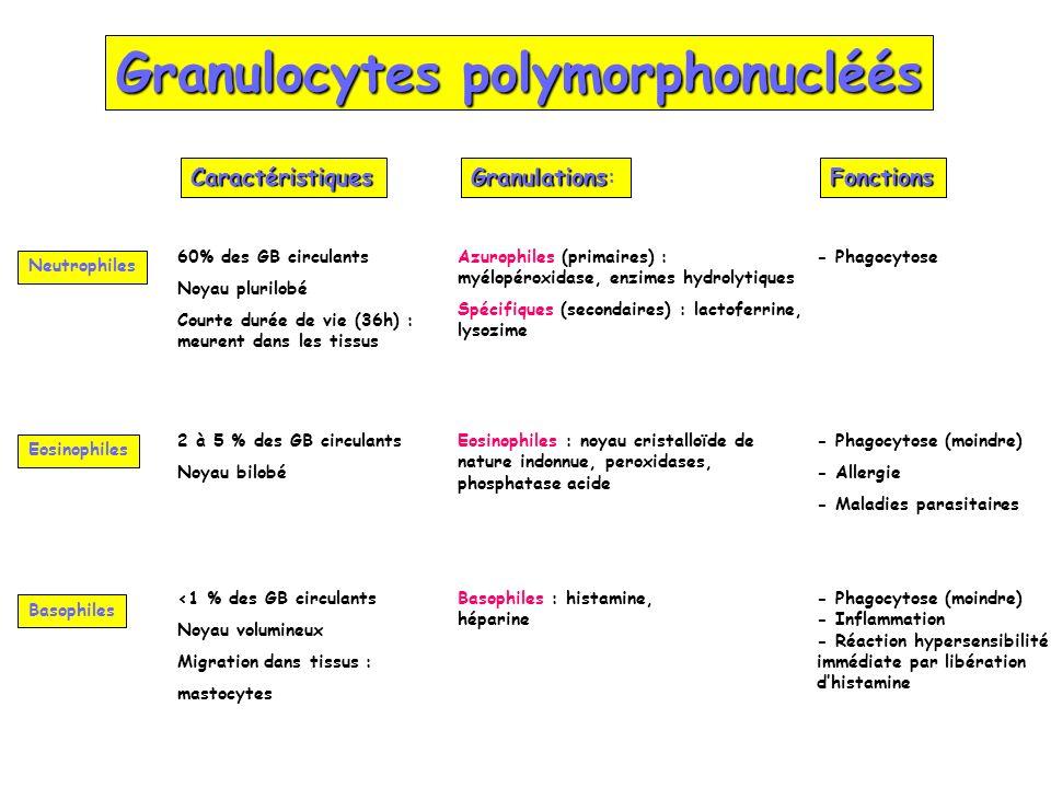 Granulocytes polymorphonucléés Neutrophiles Eosinophiles Basophiles Granulations Granulations:CaractéristiquesFonctions 60% des GB circulants Noyau pl