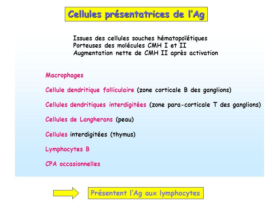 Cellules présentatrices de lAg Issues des cellules souches hématopoïétiques Porteuses des molécules CMH I et II Augmentation nette de CMH II après act