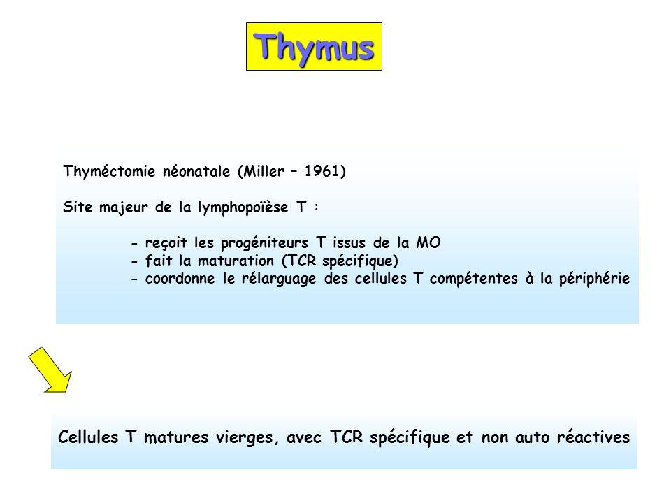 Thymus Thyméctomie néonatale (Miller – 1961) Site majeur de la lymphopoïèse T : - reçoit les progéniteurs T issus de la MO - fait la maturation (TCR s