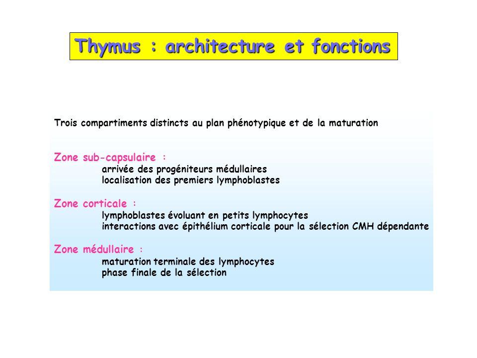 Thymus : architecture et fonctions Trois compartiments distincts au plan phénotypique et de la maturation Zone sub-capsulaire : arrivée des progéniteu