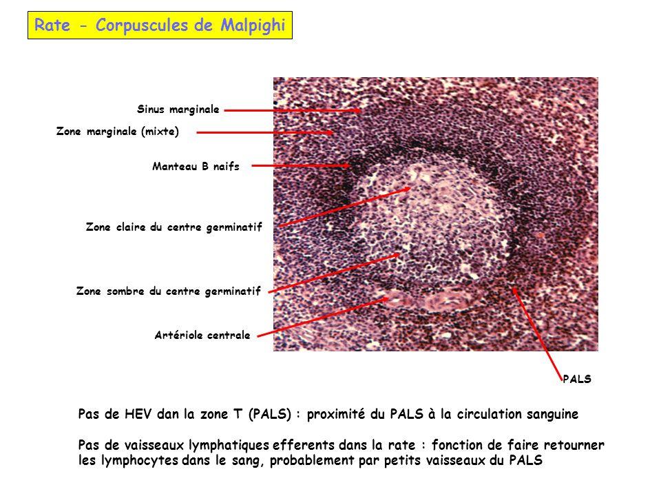 Rate - Corpuscules de Malpighi Zone marginale (mixte) Zone sombre du centre germinatif Zone claire du centre germinatif Artériole centrale Sinus margi