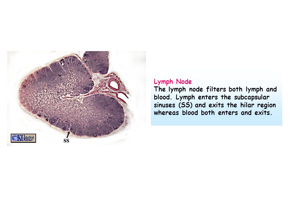 Lymph Node The lymph node filters both lymph and blood. Lymph enters the subcapsular sinuses (SS) and exits the hilar region whereas blood both enters
