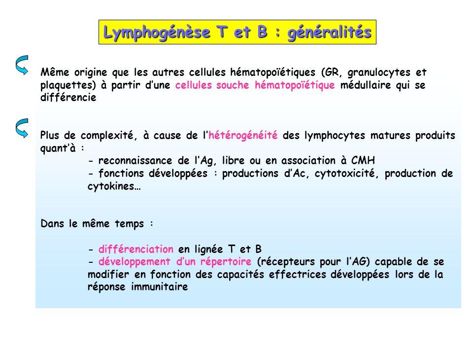 Lymphogénèse T et B : généralités Même origine que les autres cellules hématopoïétiques (GR, granulocytes et plaquettes) à partir dune cellules souche