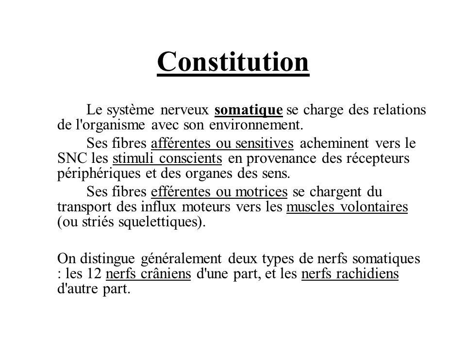 Constitution Le système nerveux somatique se charge des relations de l'organisme avec son environnement. Ses fibres afférentes ou sensitives acheminen