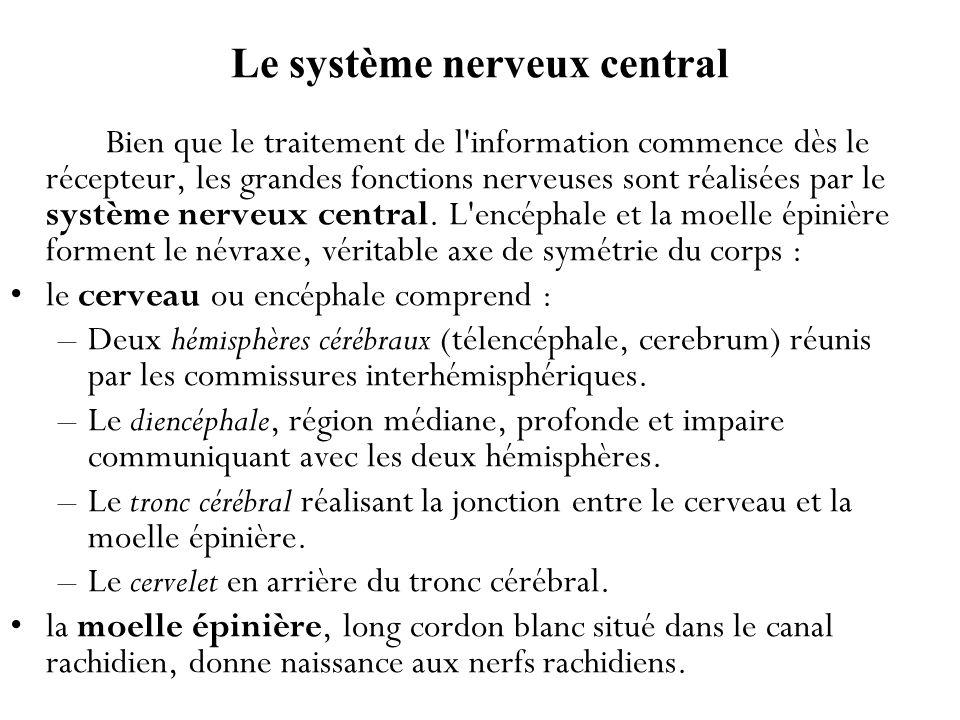Le système nerveux central Bien que le traitement de l'information commence dès le récepteur, les grandes fonctions nerveuses sont réalisées par le sy