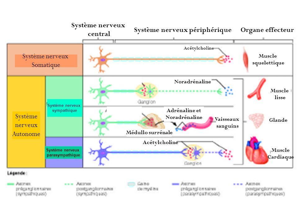 Système nerveux parasympathique Système nerveux sympathique Système nerveux central Système nerveux périphériqueOrgane effecteur Acétylcholine Muscle
