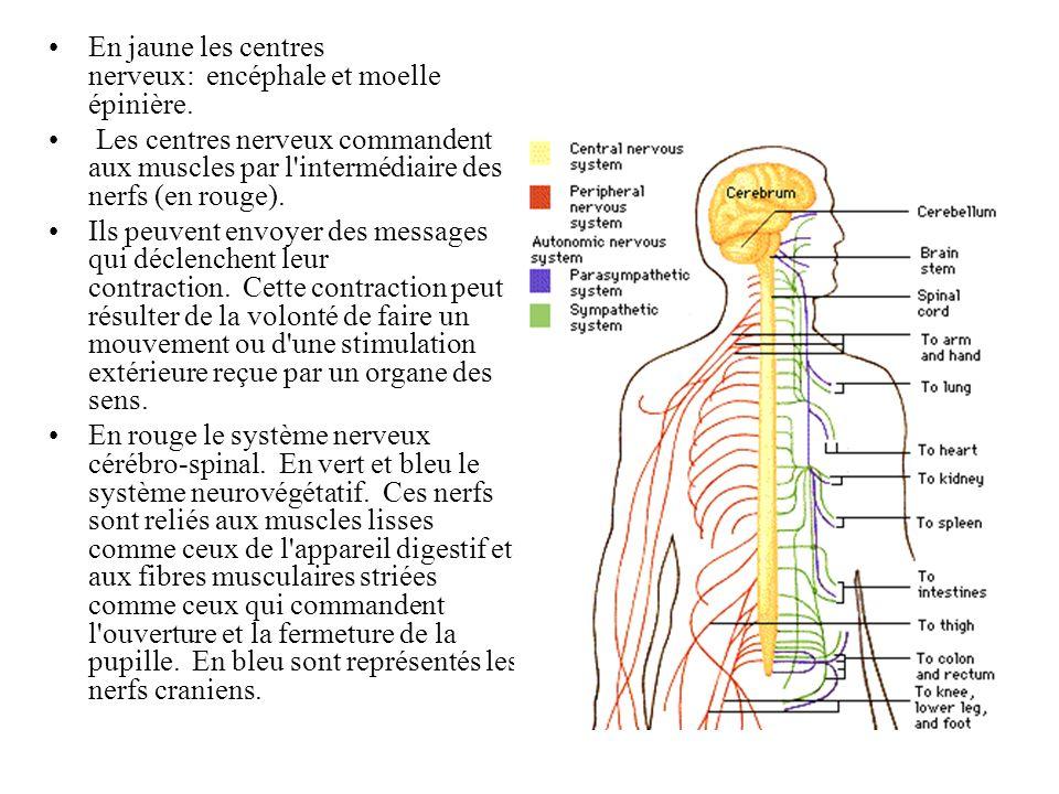 Système nerveux parasympathique Système nerveux sympathique Système nerveux central Système nerveux périphériqueOrgane effecteur Acétylcholine Muscle squelettique Muscle lisse Noradrénaline Adrénaline et Noradrénaline Vaisseaux sanguins Médullo surrénale Acétylcholine Glande Muscle Cardiaque Système nerveux Somatique Système nerveux Autonome