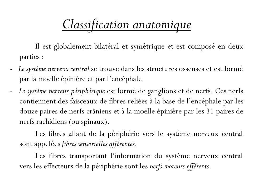 Classification anatomique Il est globalement bilatéral et symétrique et est composé en deux parties : - Le système nerveux central se trouve dans les