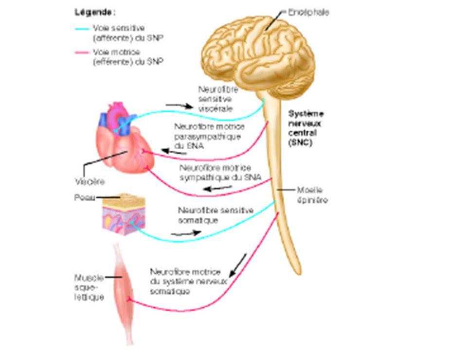 2\ Le système parasympathique Le système parasympathique possède trois territoires : - Le territoire céphalique : les fibres préganglionnaires.