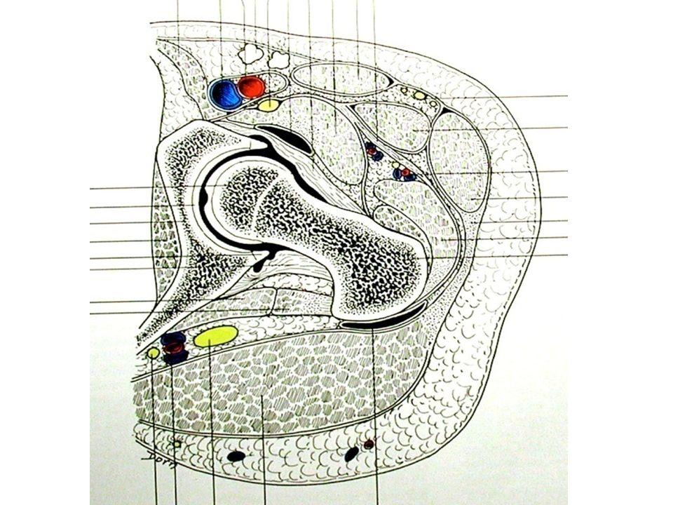 Vascularisation La vascularisation de la tête fémorale est vulnérable, elle conditionne donc lévolution des fractures du col et lapparition dune éventuelle nécrose de la tête Le pédicule principal est issu de lartère circonflexe postérieure dont les branches vascularisent les ¾ supérieurs de la tête