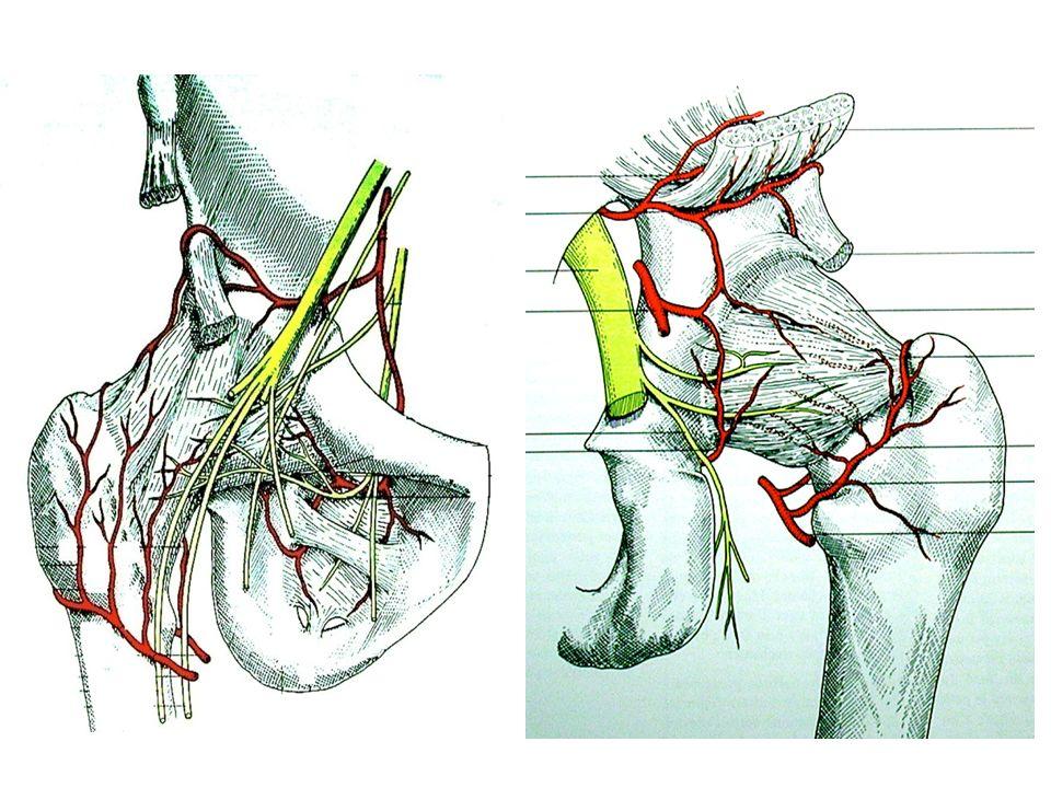 Mouvements de la coxo-fémorale Flexion Extension Abduction Adduction Rotation interne / externe