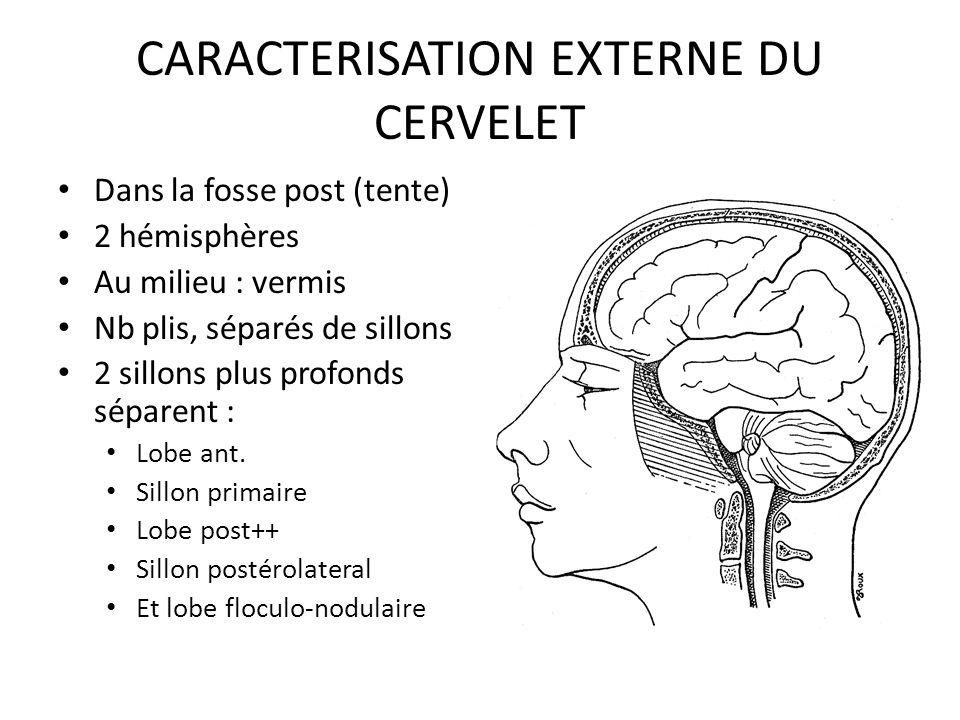 CORTEX DU CERVELET: description Circonvolutions = folia cellules > 3 couches C.moleculaire ext = fibres C.intermediaire = cellule de Purkinje C.