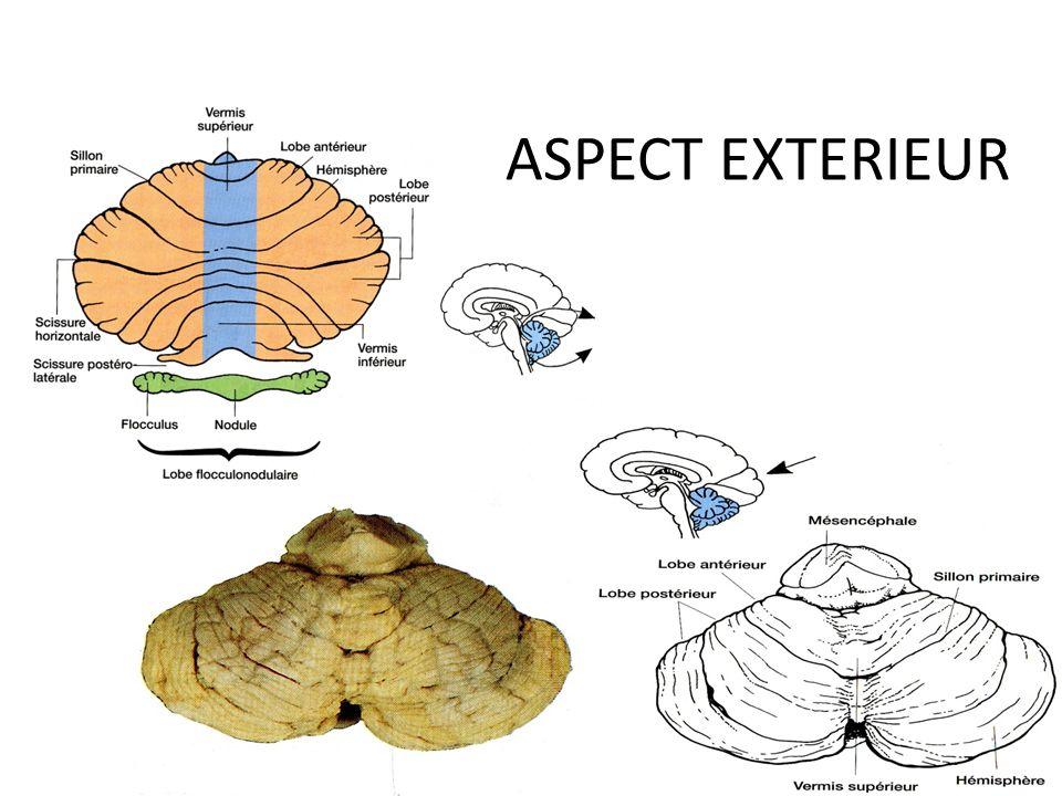 CORTEX DU CERVELET: connections par les pédoncules cérébelleux Moelle = fibres spino cérébelleuses Olive bulbaire = f.