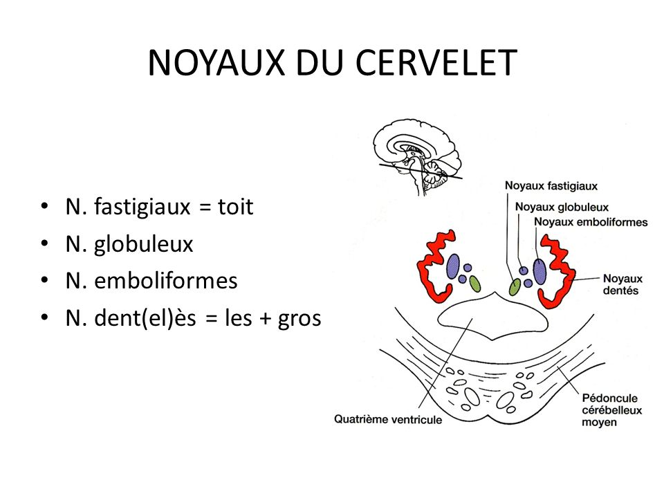 STRUCTURE INTERNE DU CERVELET Cortex = substance grise partie interne = substance blanche Dans la substance blanche : 4 X 2 noyaux cérébelleux
