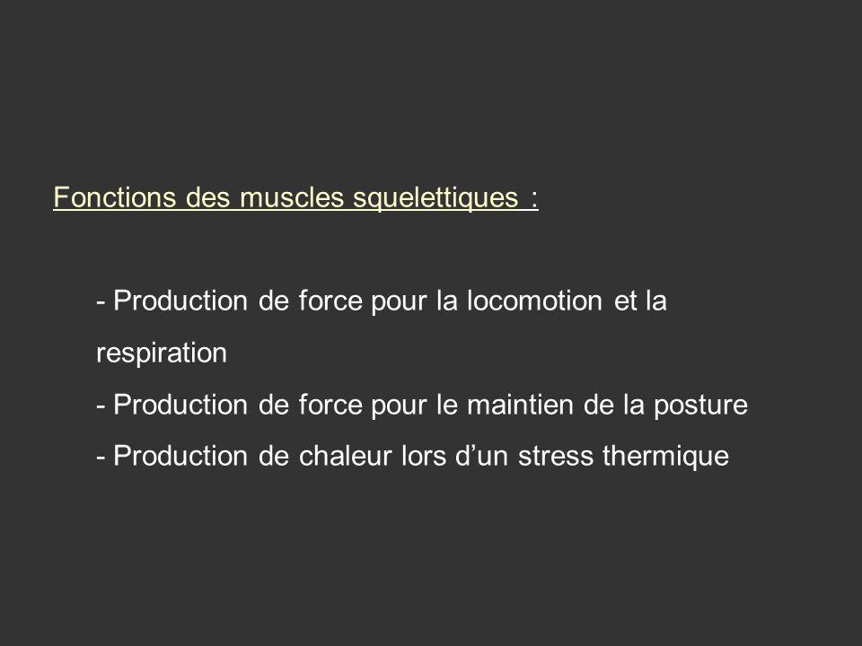 Fonctions des muscles squelettiques : - Production de force pour la locomotion et la respiration - Production de force pour le maintien de la posture