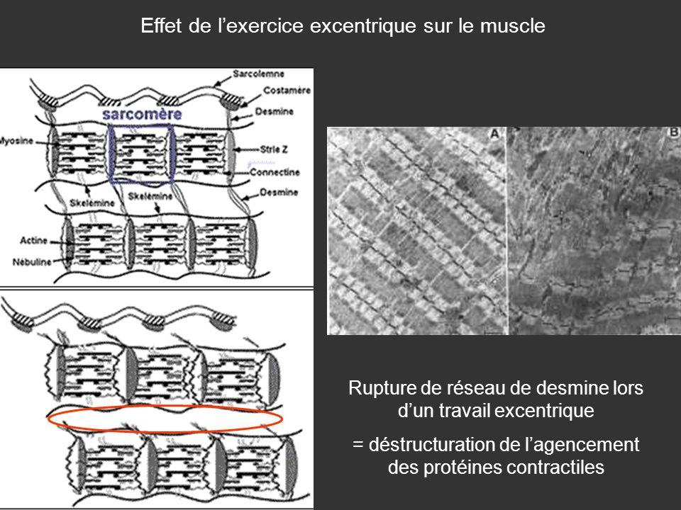 Effet de lexercice excentrique sur le muscle Rupture de réseau de desmine lors dun travail excentrique = déstructuration de lagencement des protéines