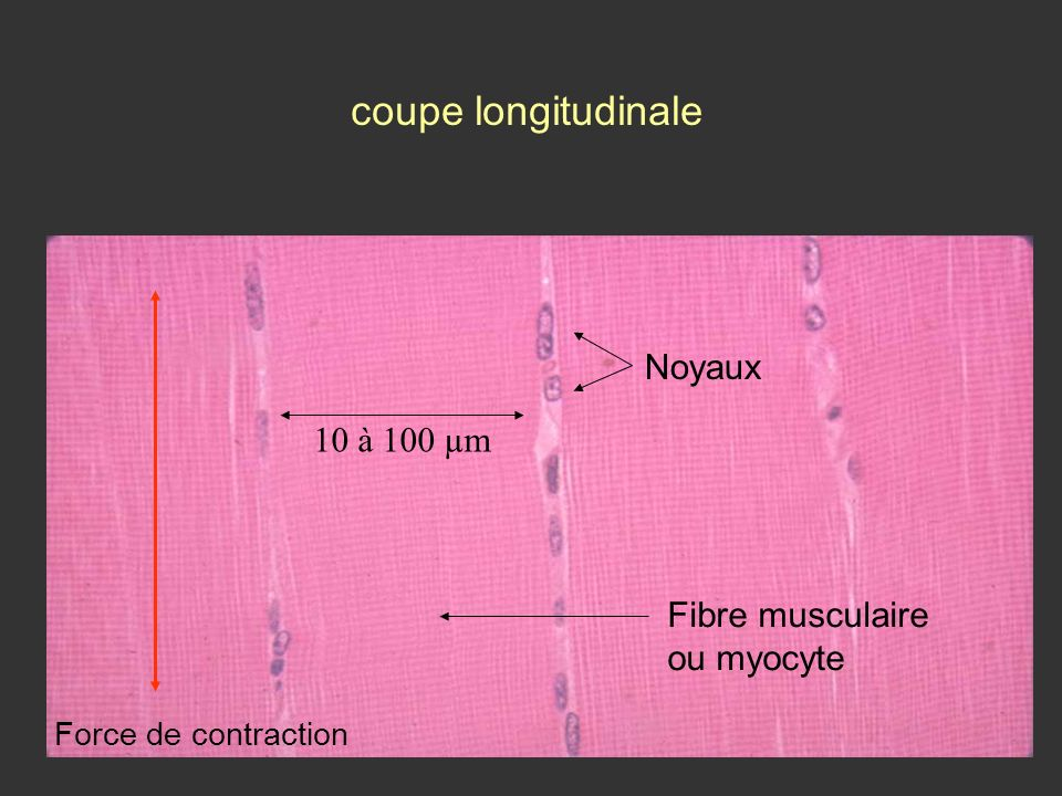 coupe longitudinale Noyaux Fibre musculaire ou myocyte 10 à 100 µm Force de contraction