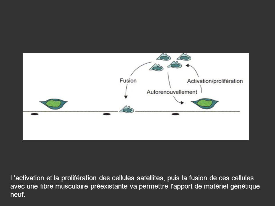 L'activation et la prolifération des cellules satellites, puis la fusion de ces cellules avec une fibre musculaire préexistante va permettre l'apport