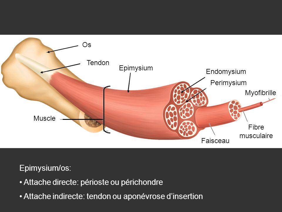 Os Tendon Epimysium Endomysium Perimysium Myofibrille Fibre musculaire Faisceau Muscle Epimysium/os: Attache directe: périoste ou périchondre Attache
