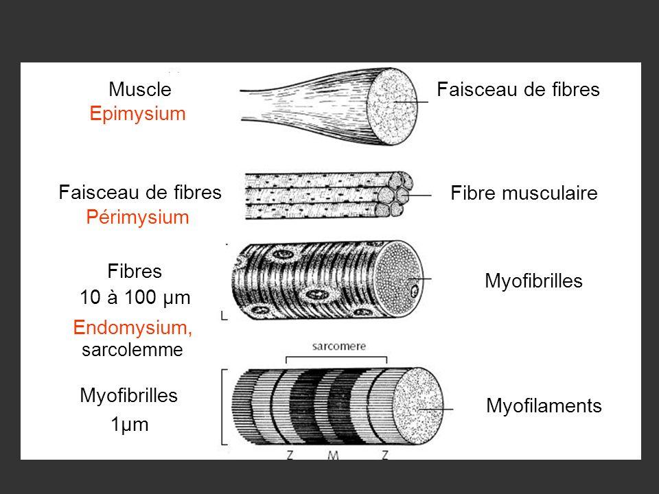 Myofilaments Myofibrilles Fibre musculaire Myofibrilles 1µm Fibres 10 à 100 µm Muscle Faisceau de fibres Epimysium Périmysium Endomysium, sarcolemme