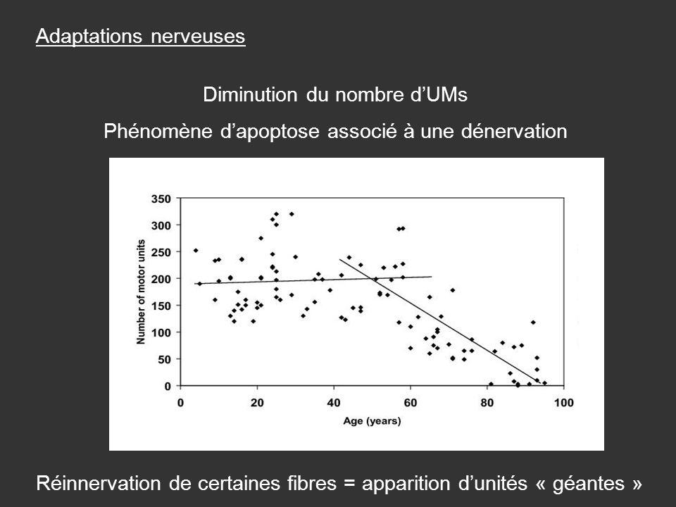 Diminution du nombre dUMs Phénomène dapoptose associé à une dénervation Réinnervation de certaines fibres = apparition dunités « géantes » Adaptations