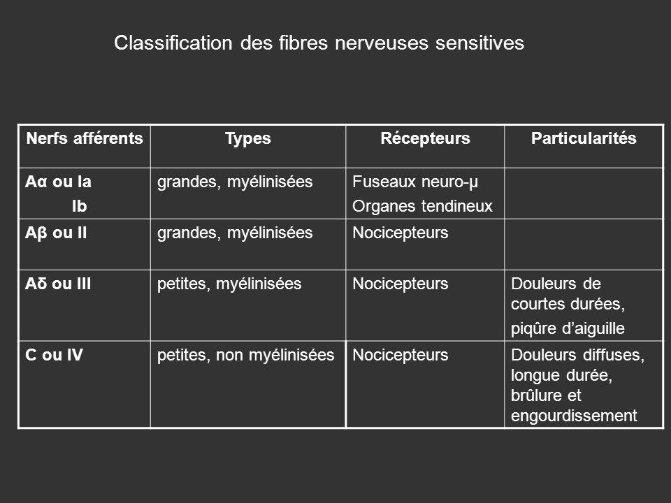 Classification des fibres nerveuses sensitives Nerfs afférentsTypesRécepteursParticularités Aα ou Ia Ib grandes, myéliniséesFuseaux neuro-µ Organes te