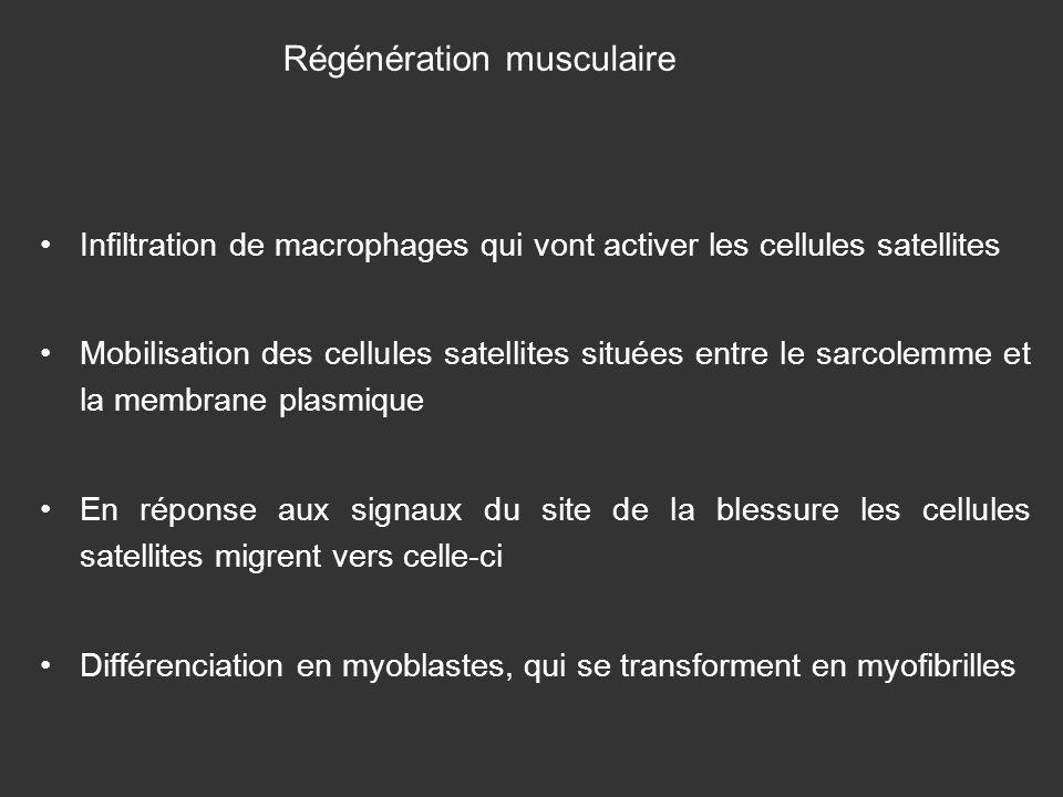 Infiltration de macrophages qui vont activer les cellules satellites Mobilisation des cellules satellites situées entre le sarcolemme et la membrane p