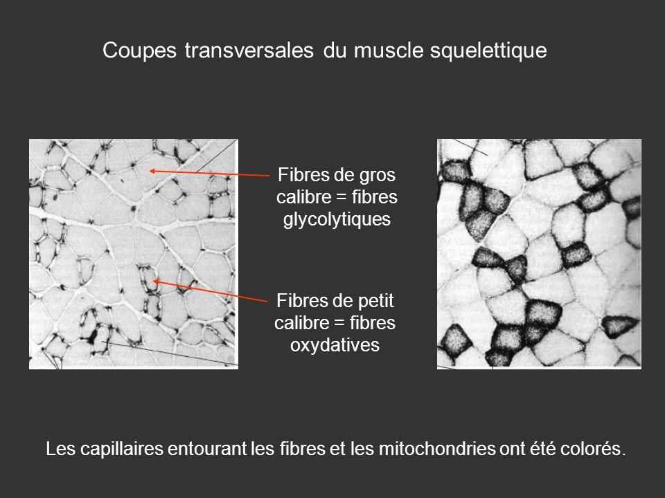 Coupes transversales du muscle squelettique Les capillaires entourant les fibres et les mitochondries ont été colorés. Fibres de gros calibre = fibres