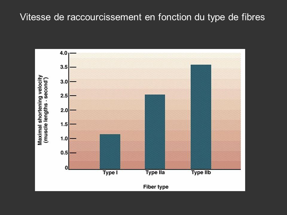 Vitesse de raccourcissement en fonction du type de fibres