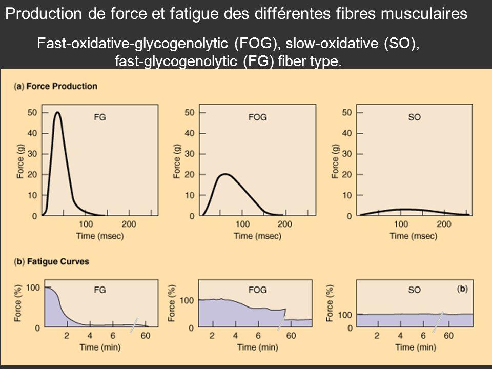 Production de force et fatigue des différentes fibres musculaires Fast-oxidative-glycogenolytic (FOG), slow-oxidative (SO), fast-glycogenolytic (FG) fiber type.