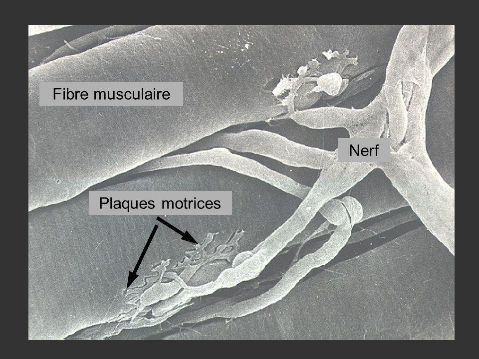 Fibre musculaire Plaques motrices Nerf