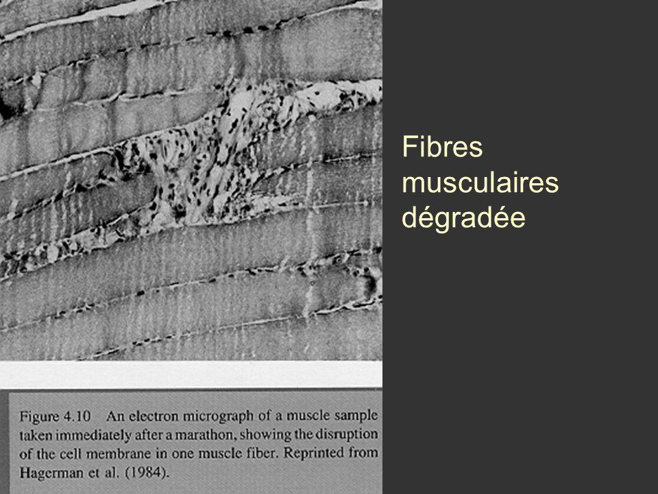 Fibres musculaires dégradée