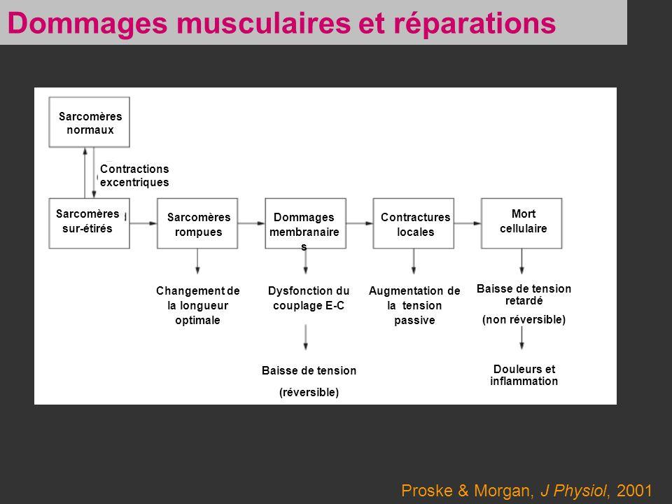 Proske & Morgan, J Physiol, 2001 Dommages musculaires et réparations Sarcomères normaux Contractions excentriques Sarcomères sur-étirés Sarcomères rom