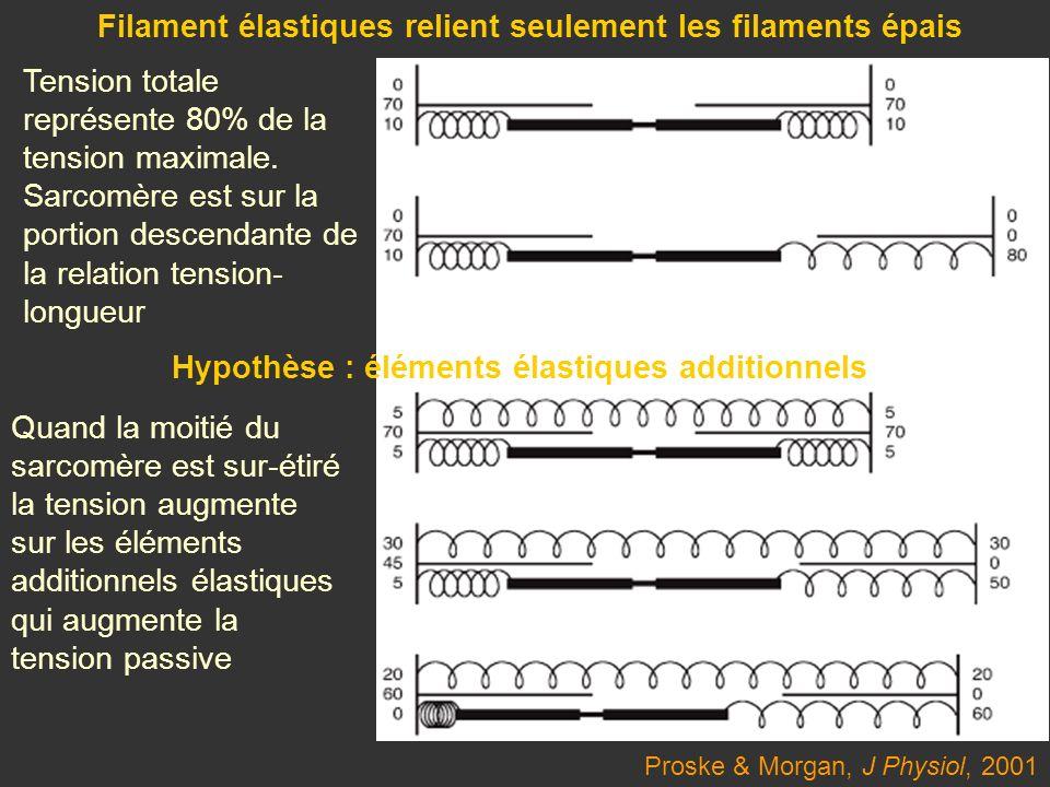 Proske & Morgan, J Physiol, 2001 Filament élastiques relient seulement les filaments épais Hypothèse : éléments élastiques additionnels Quand la moiti