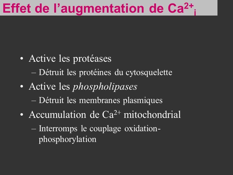 Active les protéases –Détruit les protéines du cytosquelette Active les phospholipases –Détruit les membranes plasmiques Accumulation de Ca 2+ mitocho