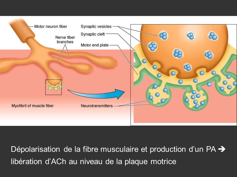 Dépolarisation de la fibre musculaire et production dun PA libération dACh au niveau de la plaque motrice