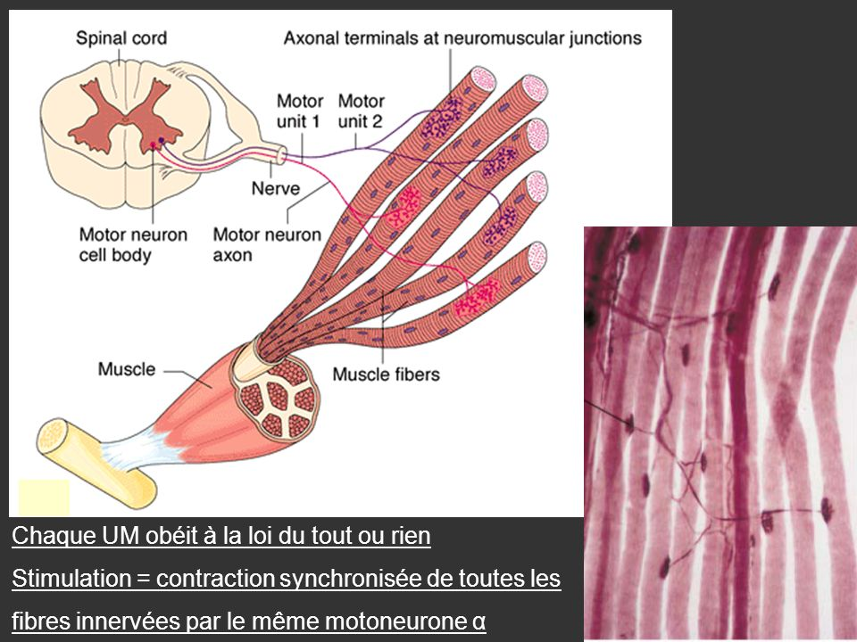Chaque UM obéit à la loi du tout ou rien Stimulation = contraction synchronisée de toutes les fibres innervées par le même motoneurone α