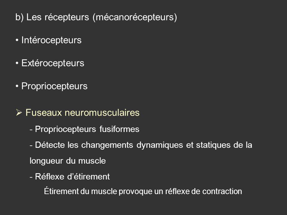 b) Les récepteurs (mécanorécepteurs) Intérocepteurs Extérocepteurs Propriocepteurs Fuseaux neuromusculaires - Propriocepteurs fusiformes - Détecte les